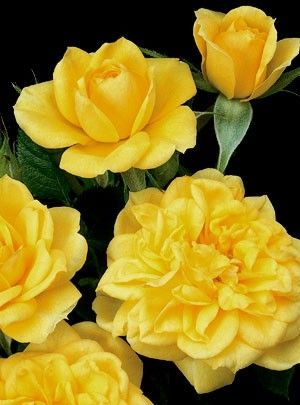 Lemon Drop Roses by sweet.dreams