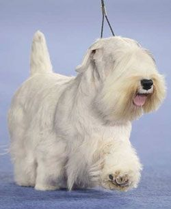Sealyham Terrier - This proud, compact, sturdy little dog makes an ideal companion. Charming and inquisitive, he loves his family, but as a spirited terrier breed, needs something to keep his active mind occupied. http://www.akc.org/dog-breeds/sealyham-terrier/