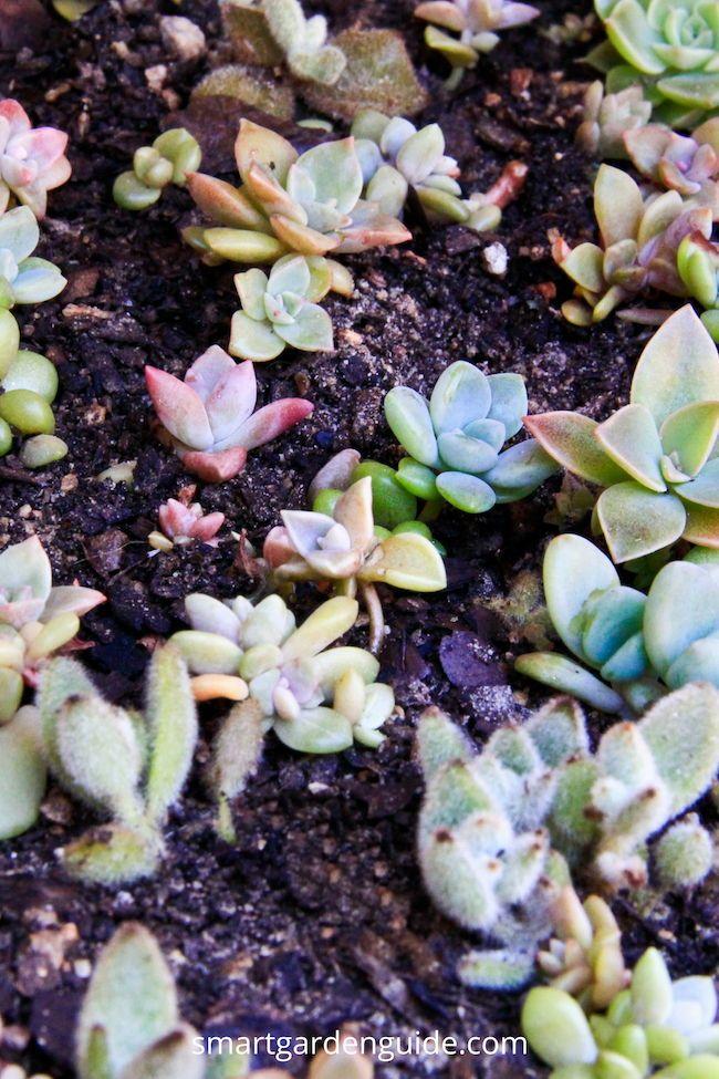 Propagating Succulents How To Propagate Succulents Indoor