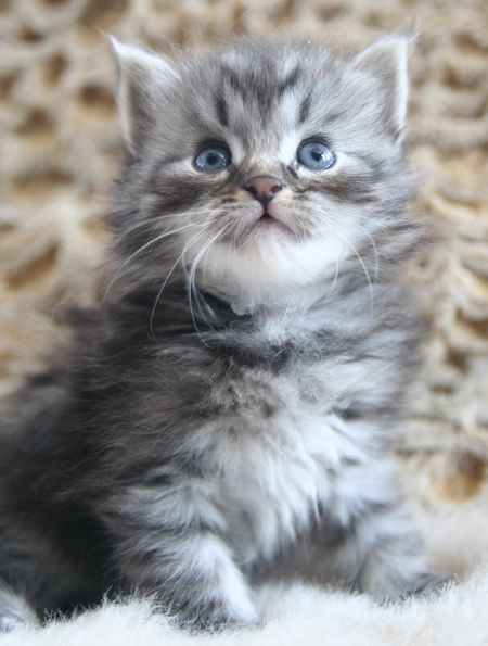 Can this little Siberian kitten be mine??