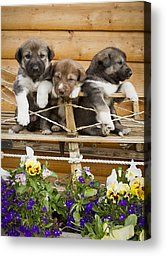 Iditarod Alaskan Husky Puppies Pose In by Jeff Schultz - Iditarod Alaskan Husky Puppies Pose In Photograph - Iditarod Alaskan Husky Puppies Pose In Fine Art Prints and Posters for Sale