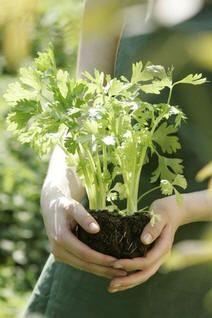 Zaaien van groenten in de maand februari: erwten, tuinbonen, aubergines, radijs, sla, pepers, paprika, spinazie. Verschilt per groente of het zaaien binnen of direct buiten kan.