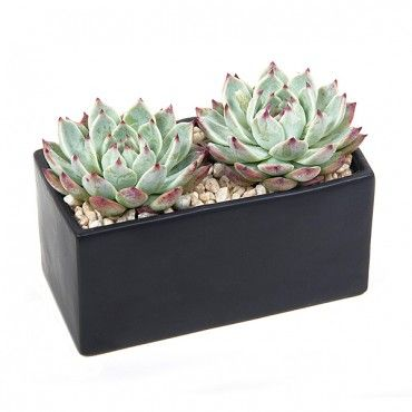 PlantShed | Seeing Double | Succulent & Plant Delivery NYC | Great for brightening up your windowsill! Two echeverias in a black ceramic cube.