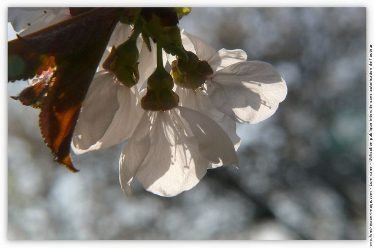 Arbre cerisier floraison cerisier burlat