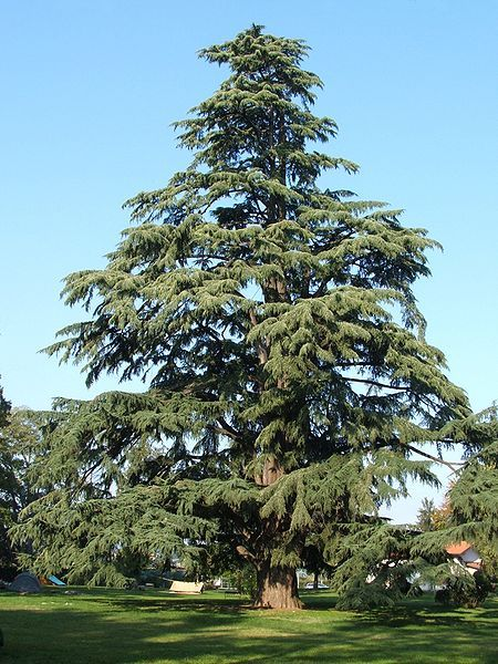 Himalayan Cedar (Cedrus deodara) - Large tree, full sun. Pinning so I can remember what these are called.