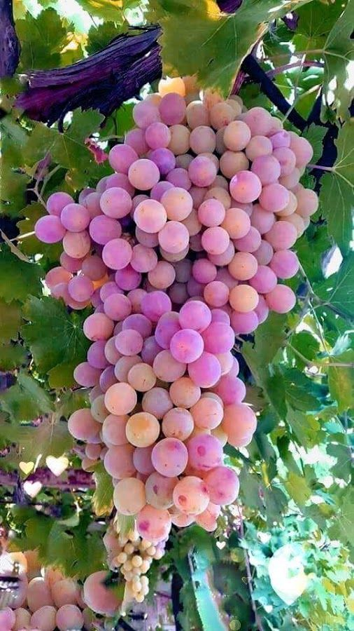 17 Best Images About Grapes On Vines On Pinterest 400 x 300