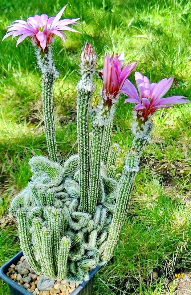 """""""Echinocereus Poselgeri"""" - Es un cáctus originario de México.. Echinocereus poselgeri crece sobre todo con varios brotes y forma un bulbo, patrón similar de dalias. Los delgados y cilíndricos brotes azules-verdes oscuros se estrechan hacia la punta. Miden de 60 a 120 cm de largo y tienen diámetros desde 1 hasta 2 centímetros. Tiene ocho a diez costillas bajas y discretas que no son tubérculos. Con una única espina central ligeramente aplanada, oscura de hasta 9 milímetros de largo."""