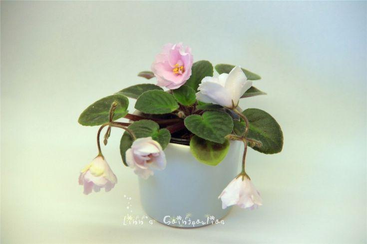 Saintpaulia African Violet Rose Graden,By Linn Boa