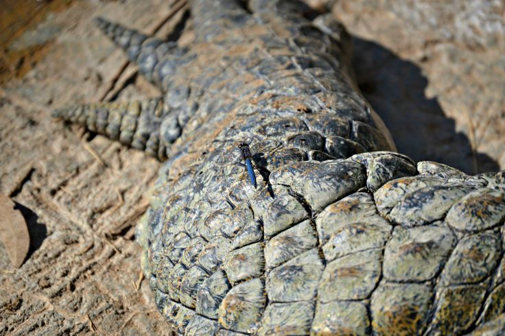 Original picture of the dragonfly sitting on a crocodile's paw. Love it! Taken at the Crocodile Sanctuary in Knysna, South Africa.