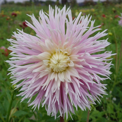 17 best images about dahlias on pinterest gardens for Fleurs vivaces