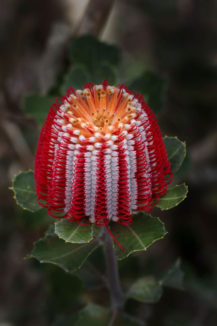 Inflorescence of Banksia - Flickr - Photo Sharing!