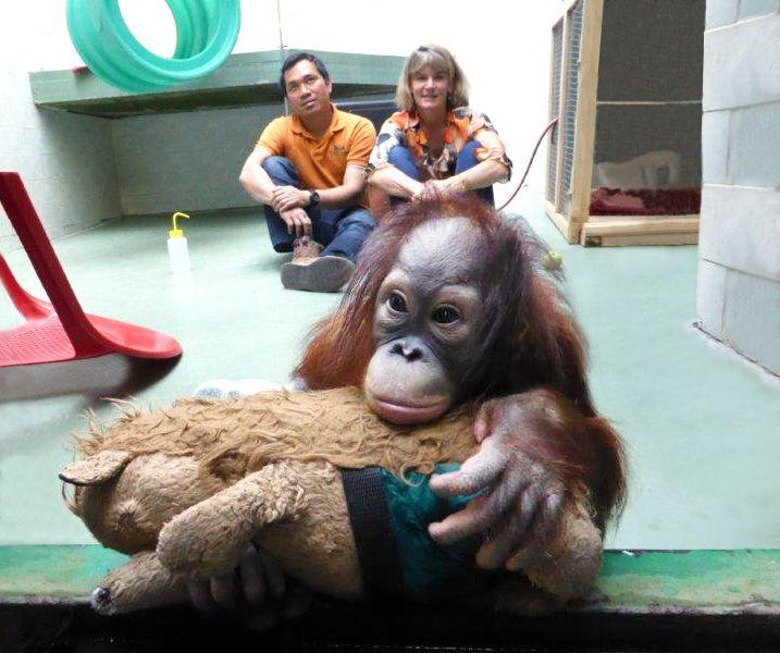 Baby Orangutan Loren Arrives At Monkey World!