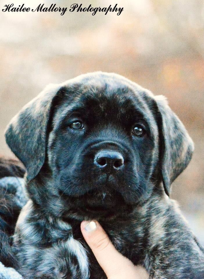 English mastiff puppy - 8 weeks old. Brindle coloured