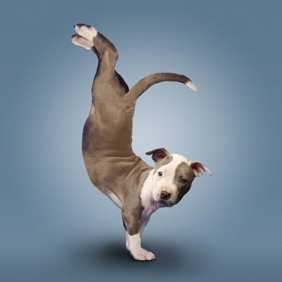 "Cute Puppies doing Yoga Dan Boris wrote a book called  ""Yoga Dogs"" featuring 45 photographs of dogs  that look like they're doing Yoga poses."
