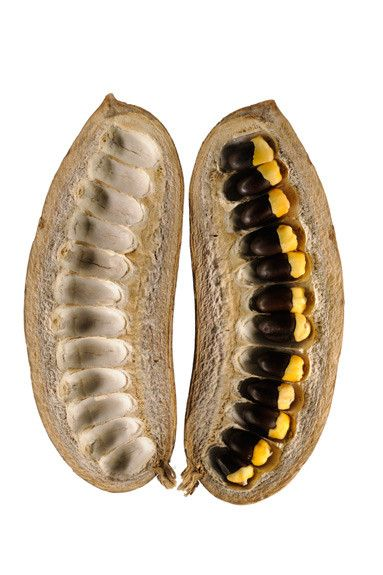 African mahogany seeds and pod. National Geographic.