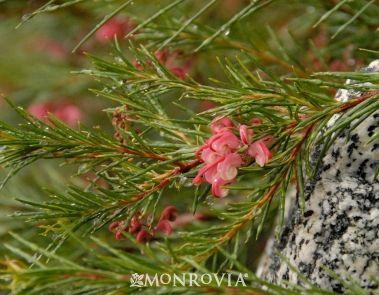 Grevillea Noellii (GN) http://www.monrovia.com/plant-catalog/plants/1340/noell-grevillea.php