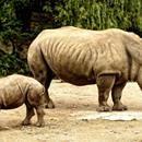 Cómo la tecnología está ayudando a proteger a los rinocerontes  Excelente artículo el que han publicado en cnet, donde hacen un estudio de las diferentes tecnologías que se usan en la actualidad para evitar que más especies de rinocerontes desaparezcan de nuestro planeta. Sólo quedan 29.000 rinocerontes en la naturaleza, el rinoceronte negro occidental fue…