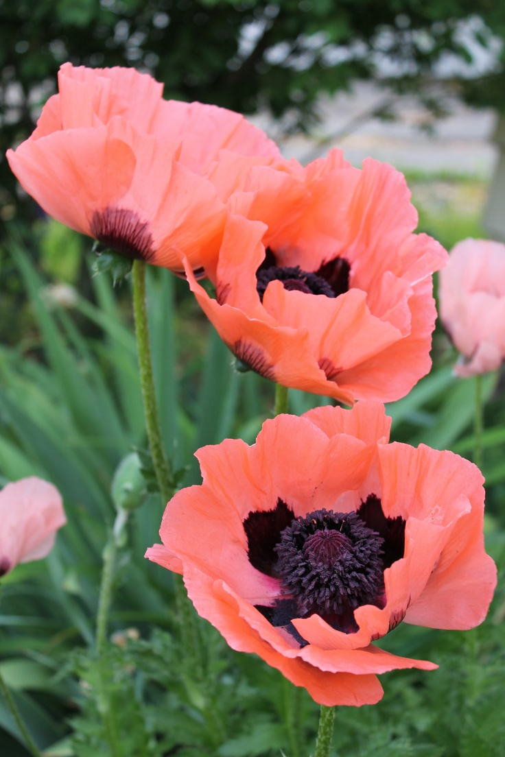 75 Best Pink Poppies Images On Pinterest Pink Poppies Poppies And