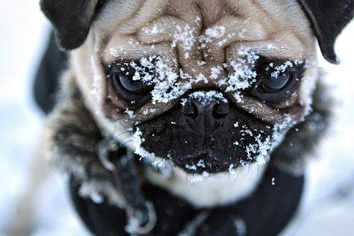 Not pleased.: Winter Snow, Snow Pugs, Winter Is Coming, Animal Photography, Pet, Winter Wonderland, Desktop Wallpapers, Little Dogs, Animal Funny