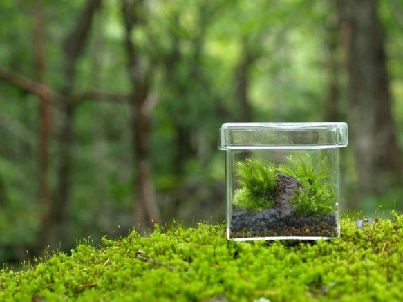 大小のコケを組み合わせで景色を作る「苔っ景」シリーズ小さなビンの中に生きた景色が広がります。苔っ景は生きた作品ですので、時間と共に景色が変化していきます。 【コケの組み合わせ】3~5種類のコケを組み合わせて景色を作った作品になります。※使った苔の種類がわかるカード付 ☆手作り品なので組み合わせや配置は写真と異なります。 現物品確認希望の場合は、メッセージいただければ、写真をお送りします。 ・容器サイズ:80mmx80mmx高さ73mm・容器素材:ガラス・育て方説明書付き 【育て方】・水 2〜3週間に一度、霧吹きで与えます。コケの表面を湿らせる程度に与えて下さい。☆コケ専用霧吹きも販売しています。http://www.creema.jp/exhibits/show/id/960298 ・置き場所 直射日光の当たらない明るい室内。日中字が読める程度の明るさが必要です。・ビンのフタ ビンのフタはしめたままで育てましょう。一ヶ月以上空気が入れ替わらなくても問題ありません。 【注意点】・ガラス製品ですので、取り扱いには十分に注意し...