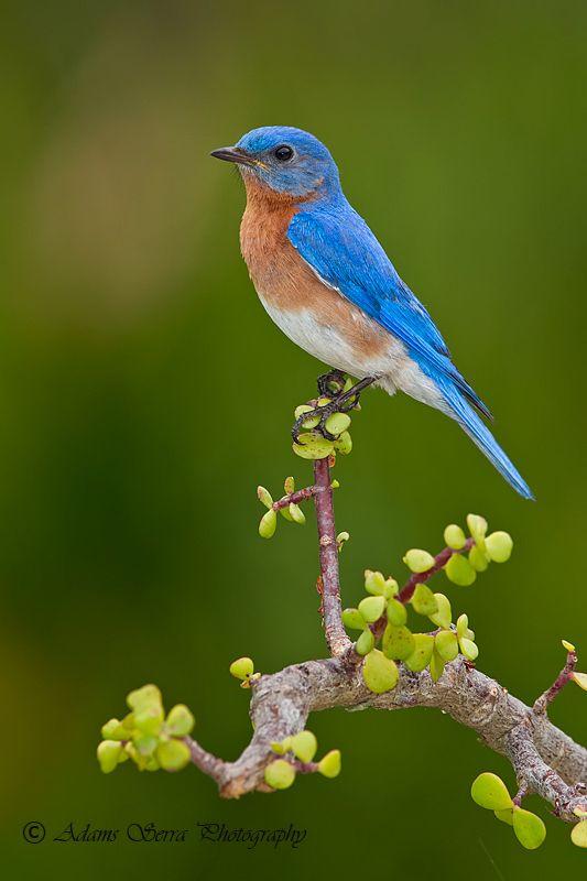 male Blue Bird by Adams Serra