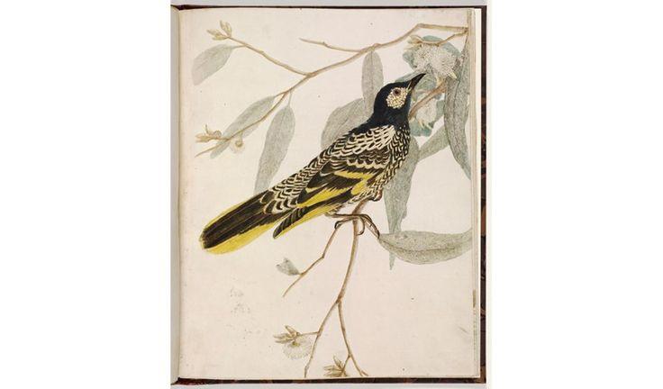 Gallery: Australian's first nature artist John Lewin - Australian Geographic