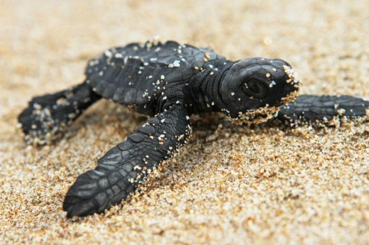 En #Vargas desovan cuatro de las siete especies de #tortugas marinas del mundo