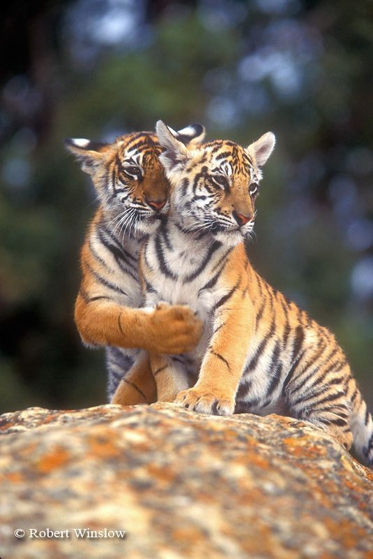"Bengal Tiger Cubs: (12 weeks old.) ""Sis! I can feel you heart beat with my paw!"""