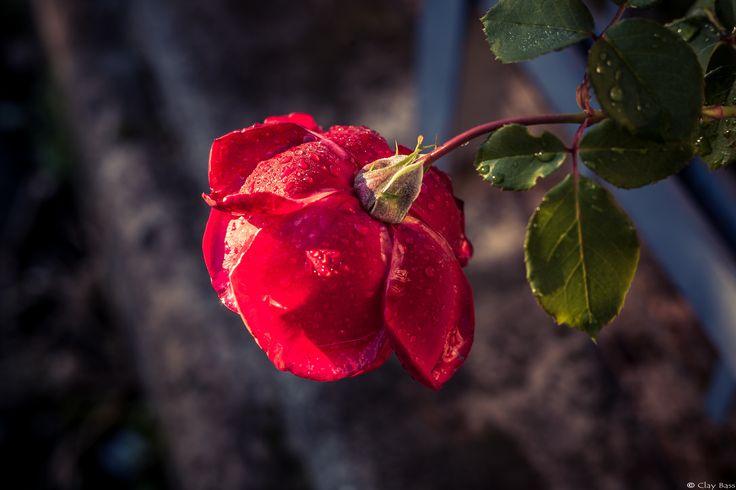 rosa bagnata - e dai fiori finti passiamo a quelli veri. I fiori sono un soggetto difficile, nel senso che è complicato scattarvi delle foto originali e significative... eppure questa volta, complice anche la pioggia che aveva coricato in avanti questo bellissimo esemplare, ci sono quasi riuscito :)