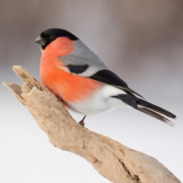 """Bullfinch - Its Irish name is Corcran Coille, which translates as """"purple outlaw of the woods""""."""