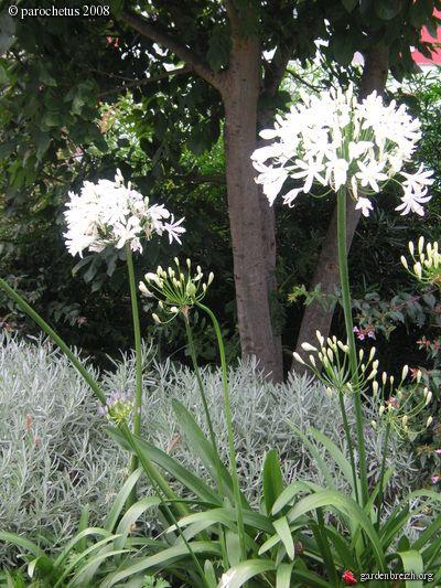 Agapanthus - Agapanthe blanche