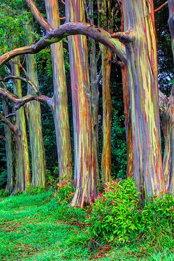 Rainbow Eucalyptus Trees (Eucalyptus deglupta), Maui, Hawaii, USA