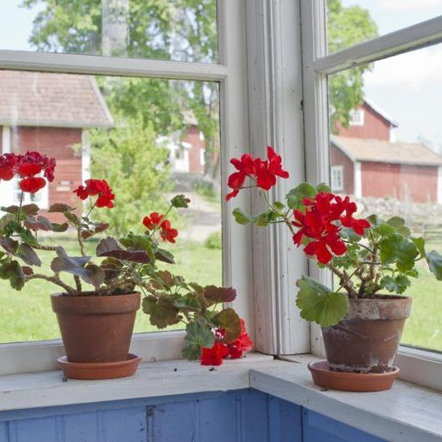 Most pelargoniums are native to South Africa.