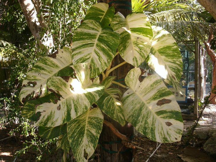 giant philodendron giant golden pothos vine large tropical leaf vine