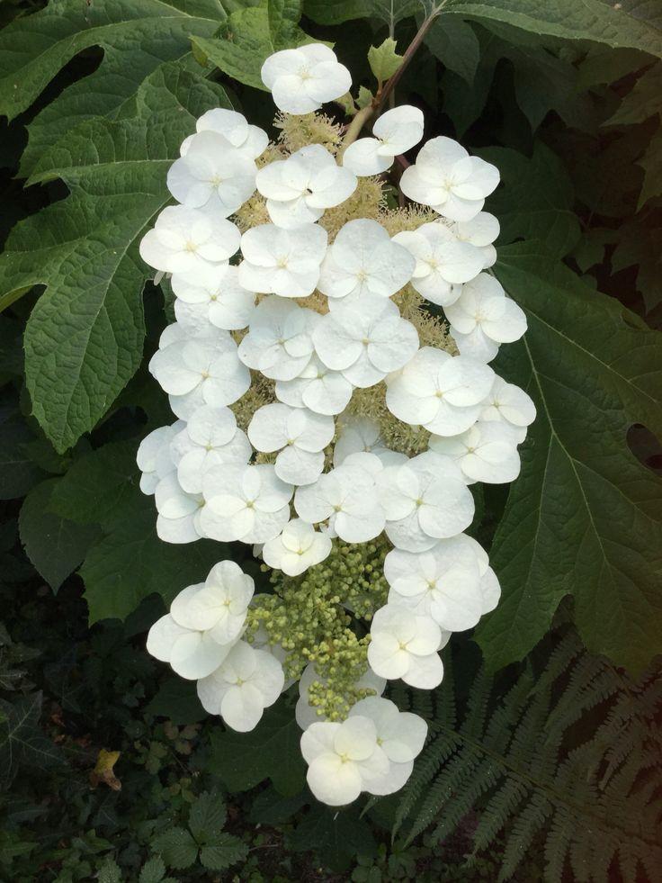 Ortensia quercifolia