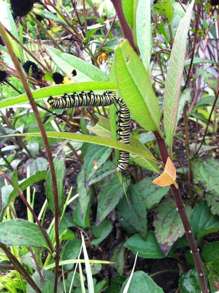 Monarchs and milkweed: probing the plant, pollinator partnership