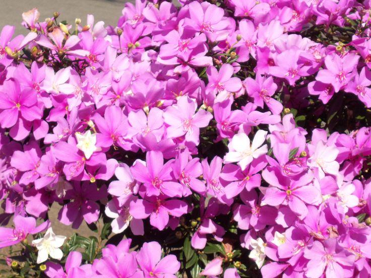 Pequeno pé de Manacá da Serra em flor