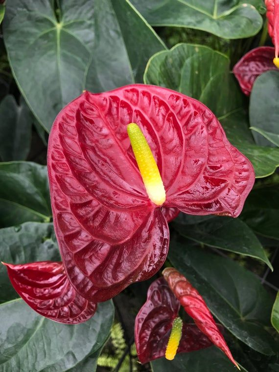 Flamingo Flower Info Care And More Generally The Flamingo Flower Is Plainly Called Anthurium Belonging To Anthurium Plant Pinterest Plant Flamingo Flower