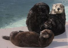 Baby Sea Otters for Sale | Vancouver Aquarium introduces its ...
