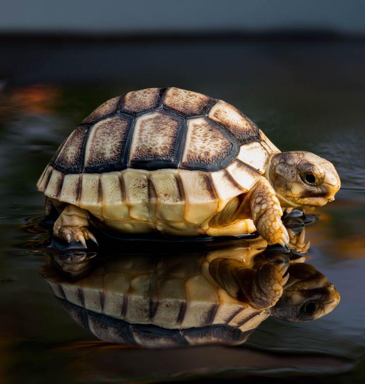 tartarugha