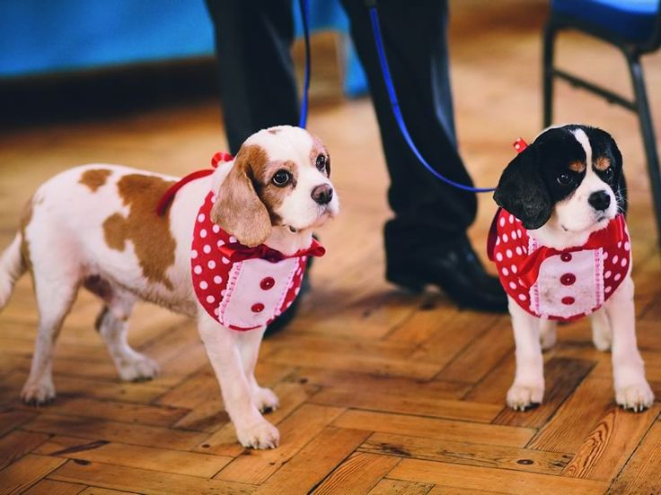 Ces tenues à pois rouges sont une prise de plaisir sur le formel. Animaux lors des mariages peut être habillé dans la couleur choisie par le couple pour un regard magnifique dans les photos (pensez adapté aux robes de demoiselle d'honneur, la cravate de marié ou même des chaussures de la mariée!).