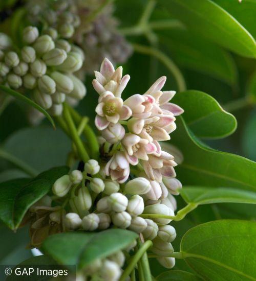 Holboellia coriacea. A vigorous, evergreen climber with a beautiful fragrance - like melon crossed with jasmine.