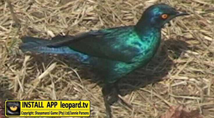 The Cape glossy starling - occurs in much of central and southern Africa, except for the winter-rainfall regions of the Western Cape. Such a common sight on wildlife areas that they are mostly almost ignored. Read more on www.leopard.tv  #TBT #leopardtv #wildlife #birds