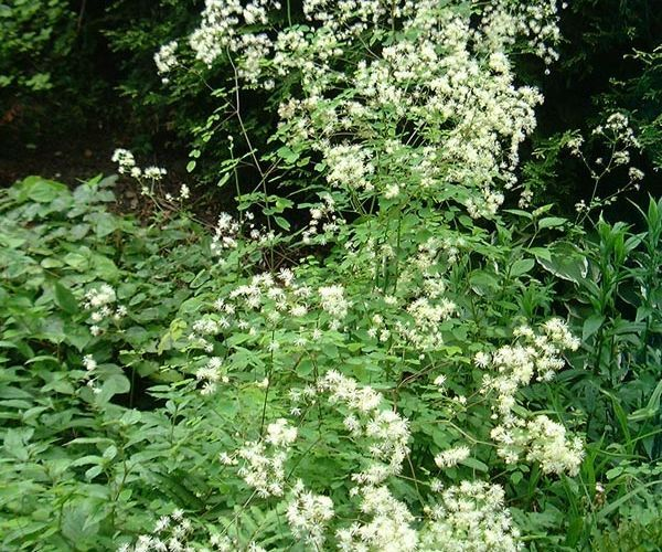 Thalictrum pubescens - a tall perennial for the back of the border. Fluffy creamy-white flowers in June/July-August. A strong, upright plant.