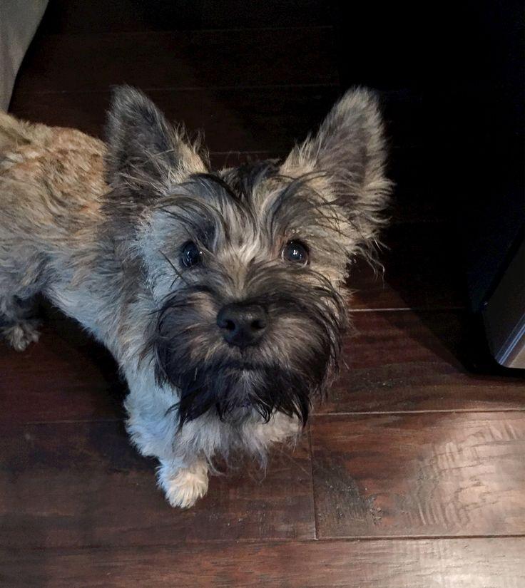 Cairn terrier -Bogey