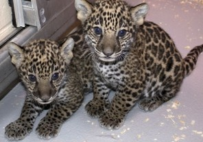 Jaguar cubs in Milwaukee zoo have something different to offer - The Washington Post