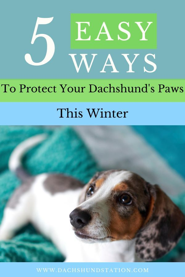 5 Reliable Ways To Protect Your Dachshund S Paws This Winter