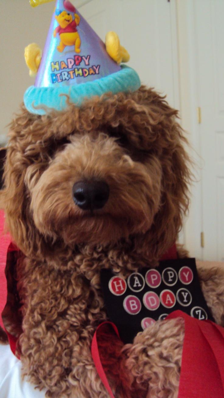11 Best Goldendoodle Do Dos Images On Pinterest Dog Cat