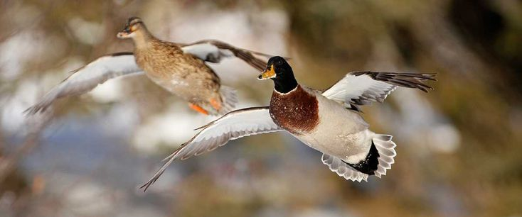 What Species Can I Mix Diver Duck Hunting Manual Guide