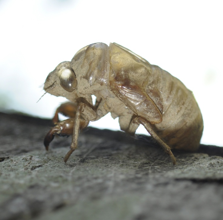17 best ideas about Cicada Shell on Pinterest | Cicada ...